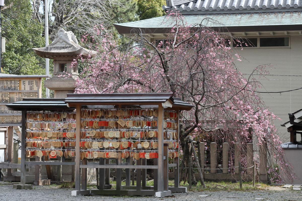 弓弦派神社の枝垂れ桜