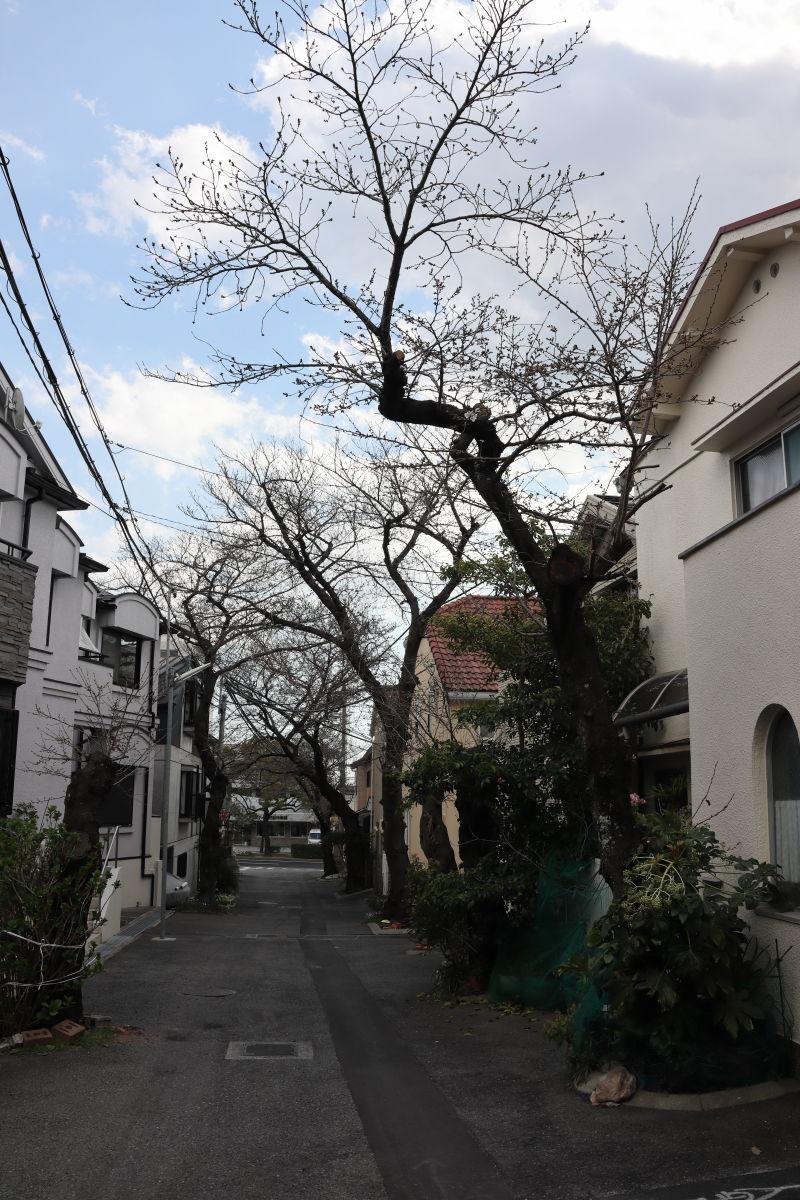 弓弦派神社の桜 蕾