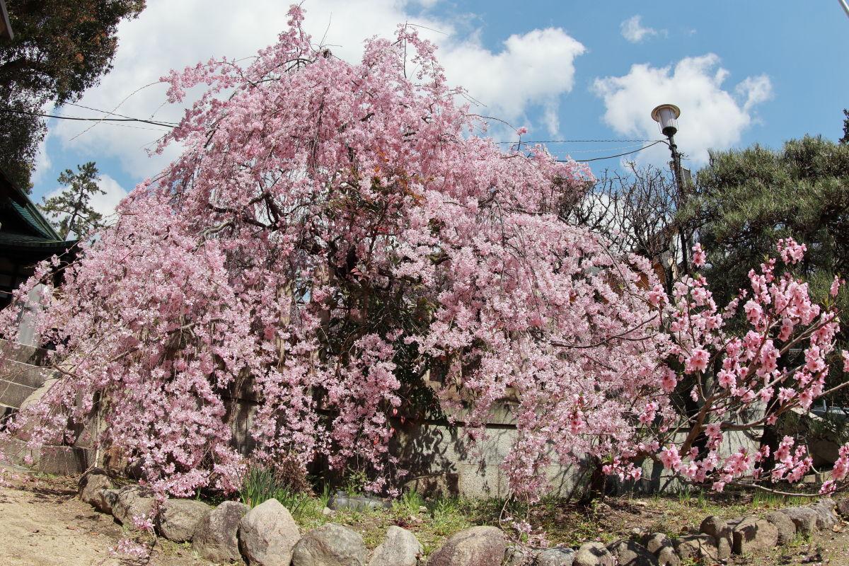 弓弦羽神社の枝垂れ桜