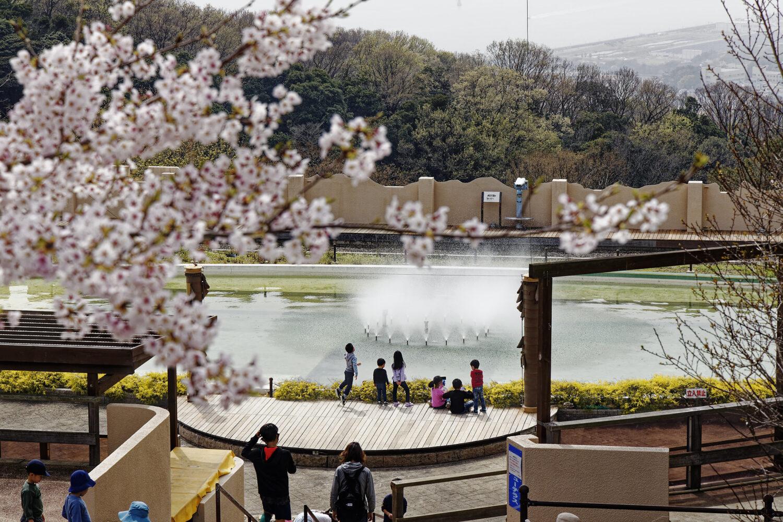 須磨浦山上遊園の桜開花状況 2021年3月30日