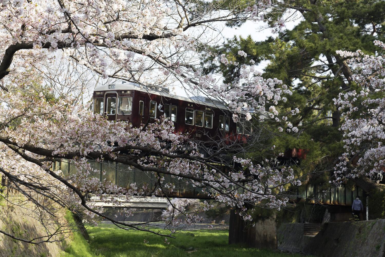 阪急電車 夙川の桜開花状況 2021年4月2日