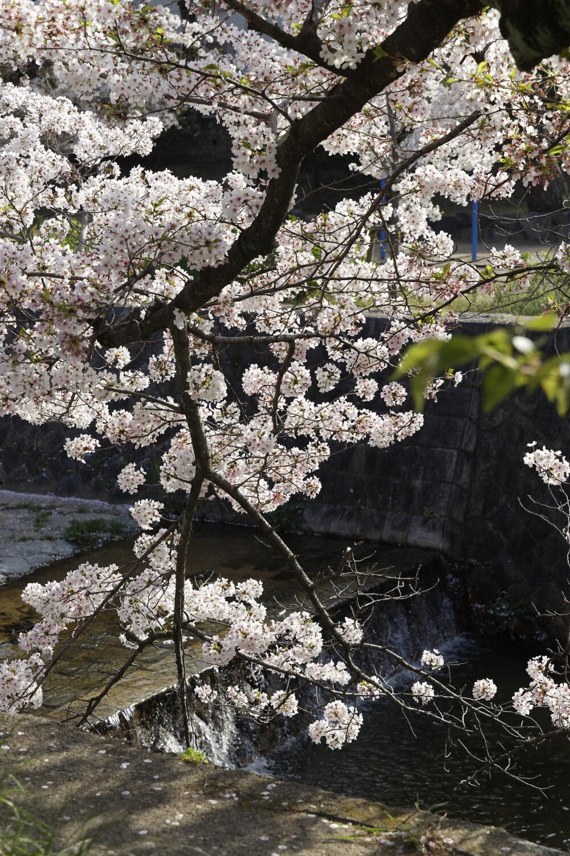 夙川の桜開花状況 2021年4月2日
