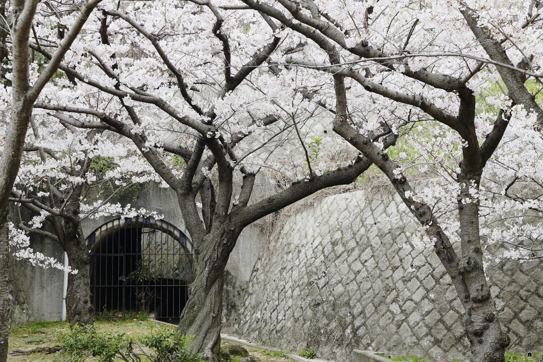 須磨浦公園の桜開花状況 2021年3月30日