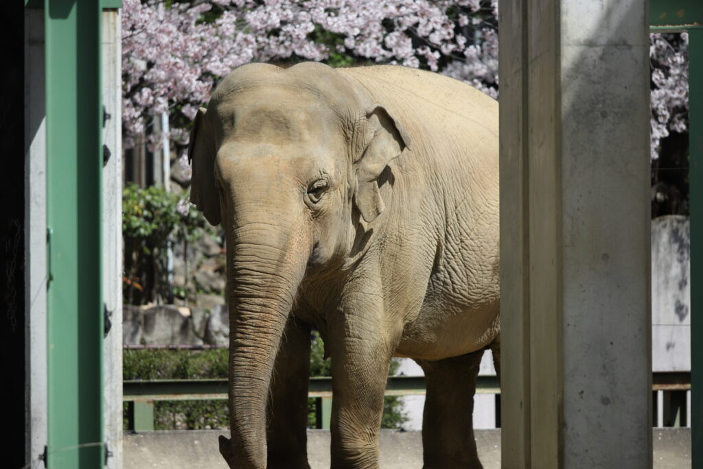 ゾウ 王子動物園の桜