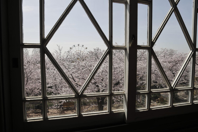 ハンター住宅の中から見る桜
