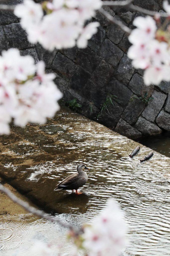 夙川の桜 2018年4月1日