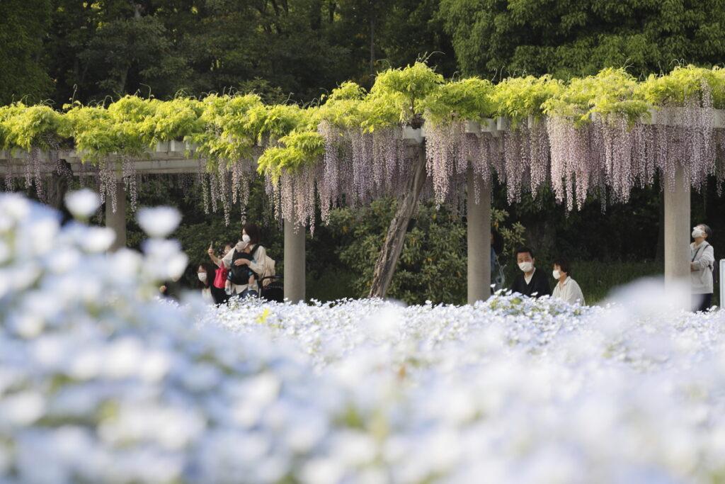 長居植物園のネモフィラ畑と藤棚