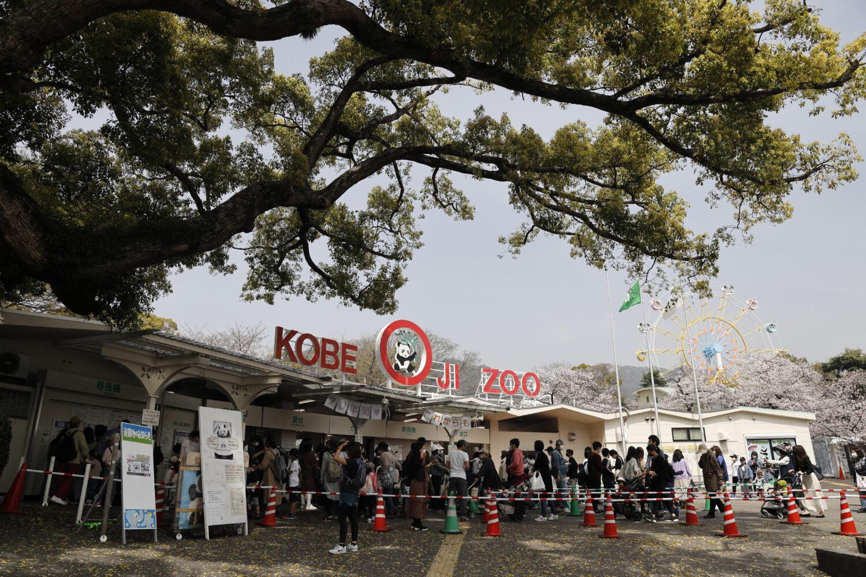 王子動物園の桜開花状況 2021年3月29日
