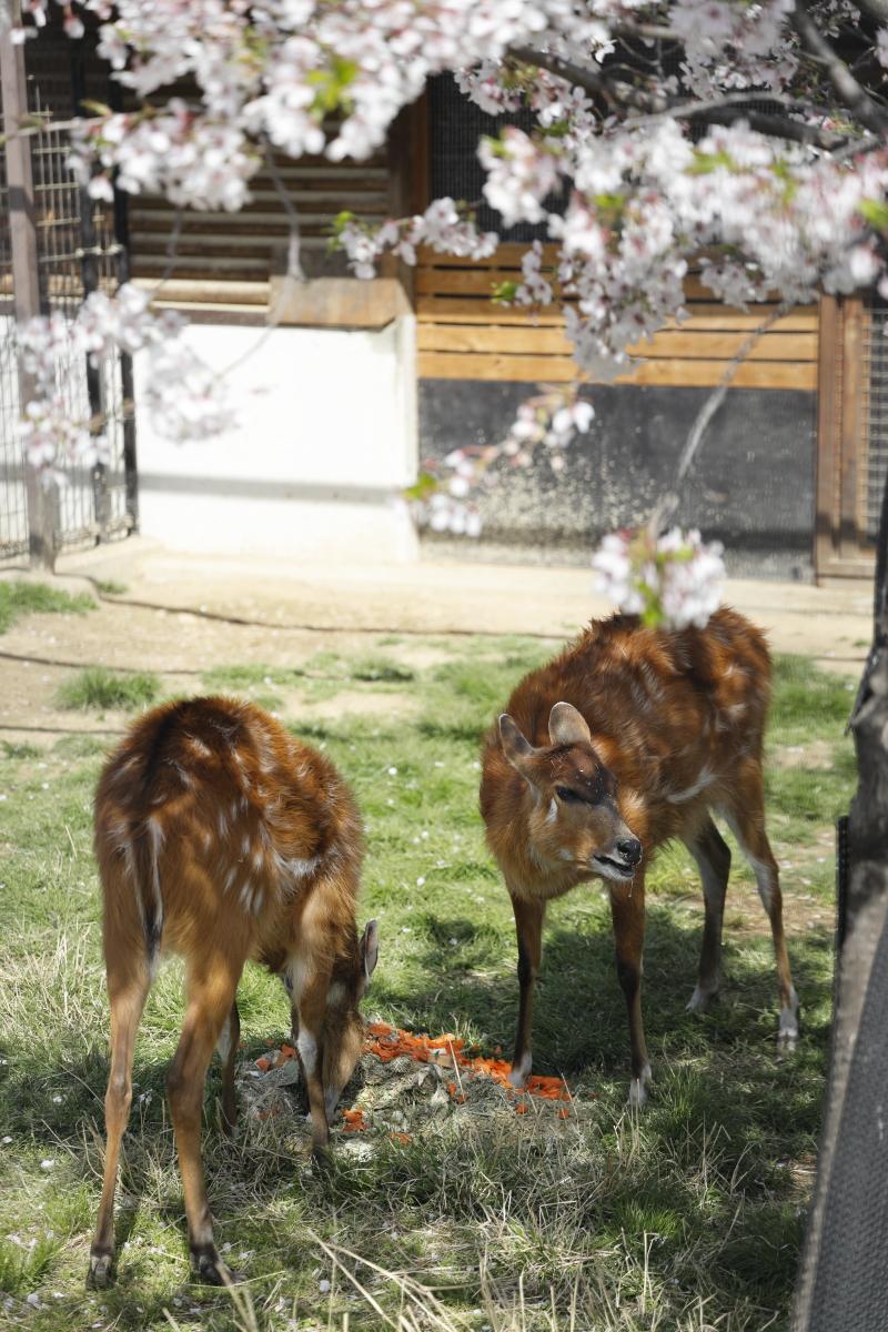 鹿 王子動物園の桜開花状況 2021年4月1日