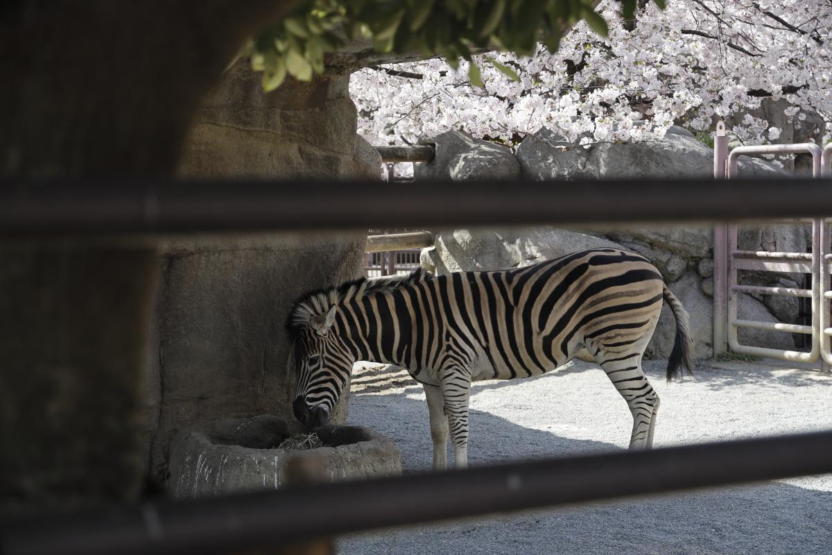 シマウマ 王子動物園の桜開花状況 2021年4月1日