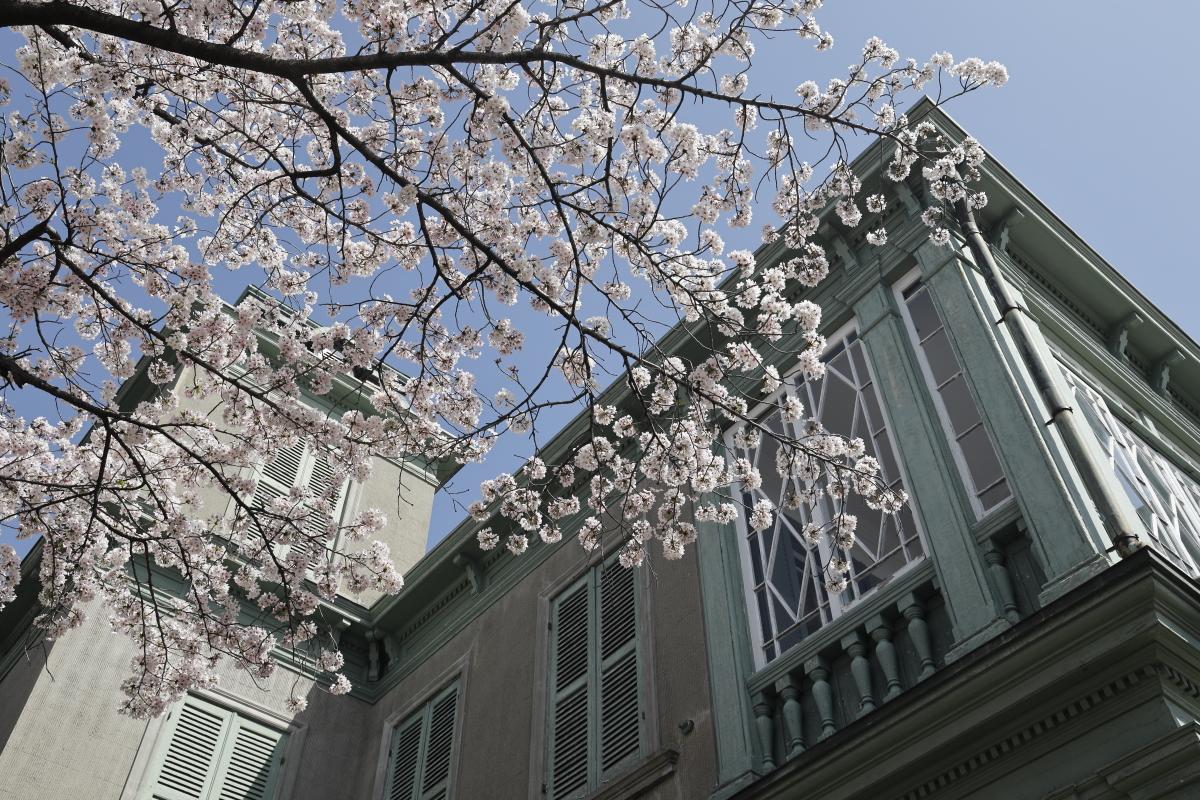 王子動物園の桜開花状況 2021年4月1日