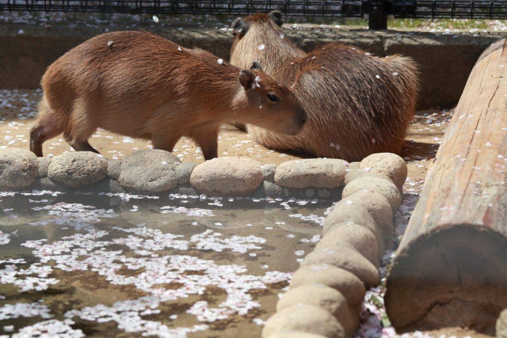 王子動物園のカピバラ