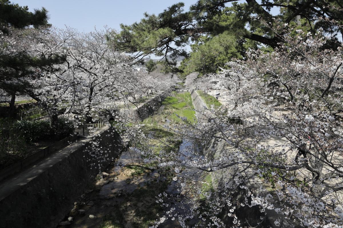 夙川の桜開花状況 2021年3月26日