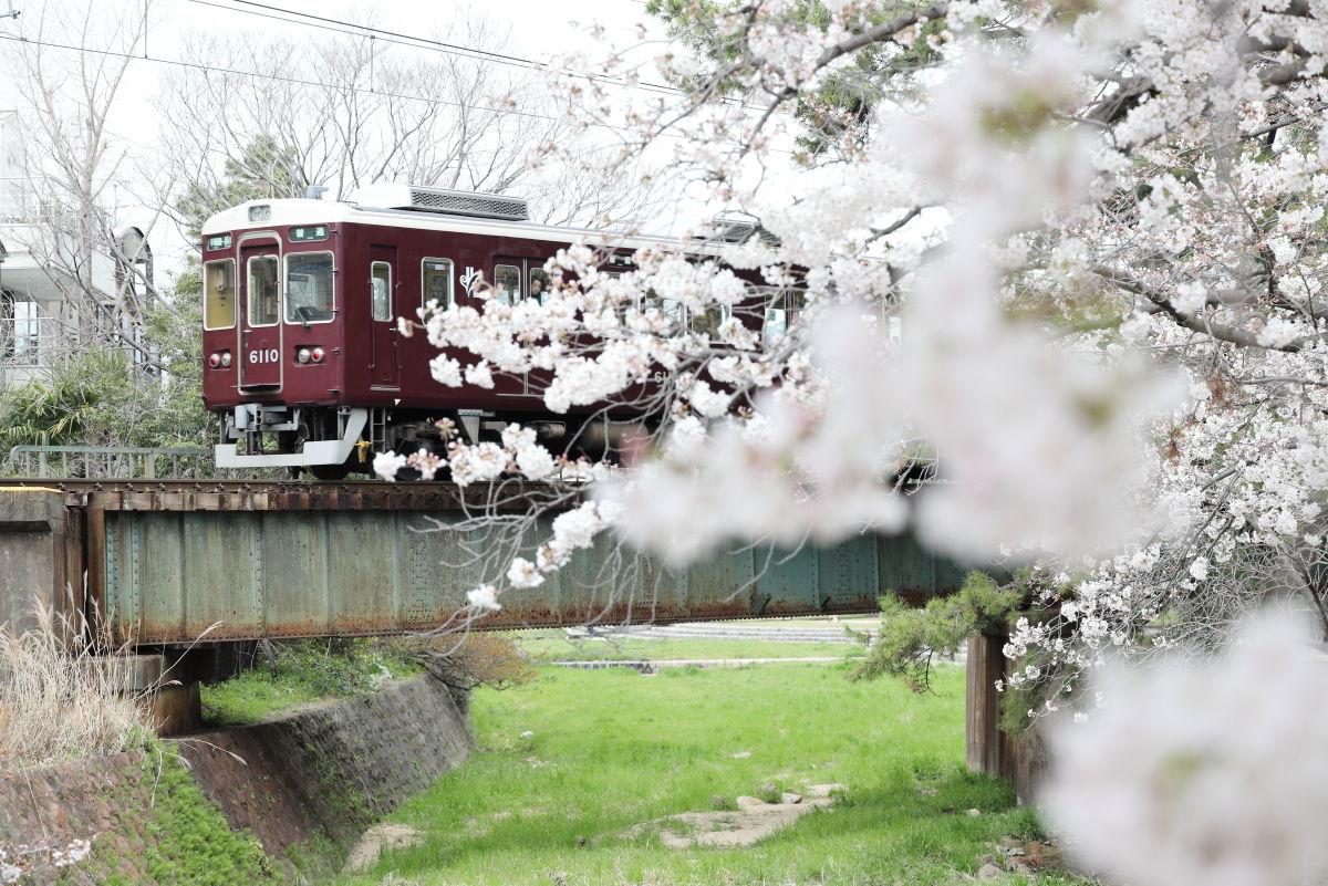 夙川の桜の開花状況 2019年4月2日