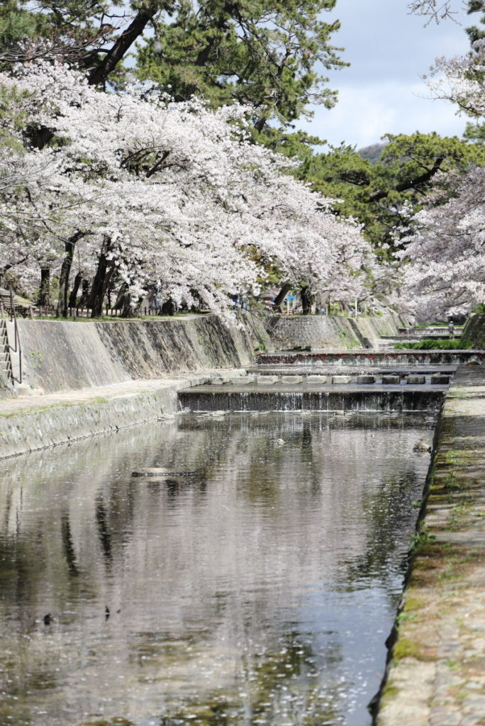 夙川の桜 2019年4月11日