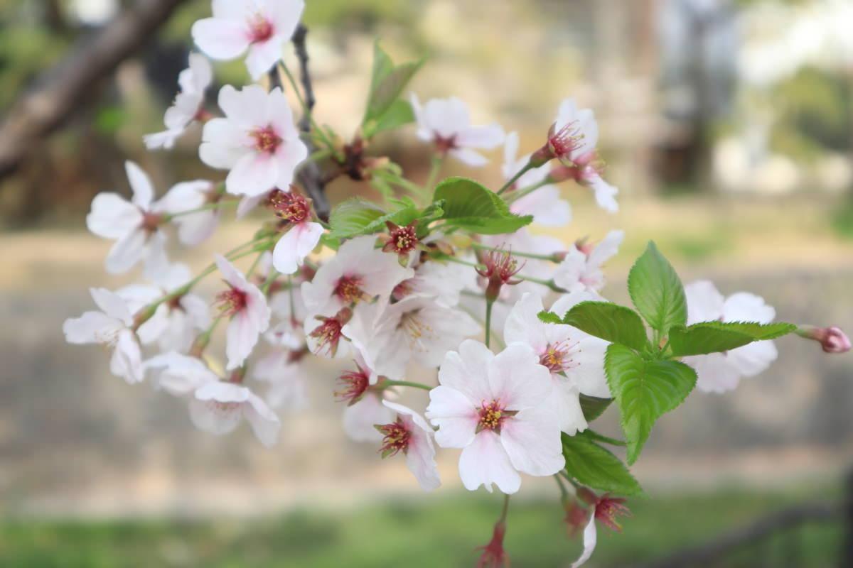 夙川 桜 葉が見えてきている