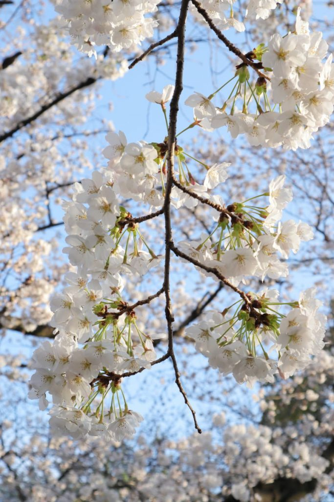 夙川の桜 2018年3月26日