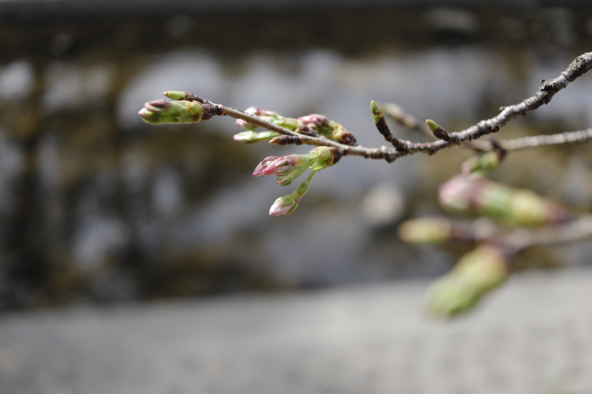 夙川の桜開花状況 2021年3月17日
