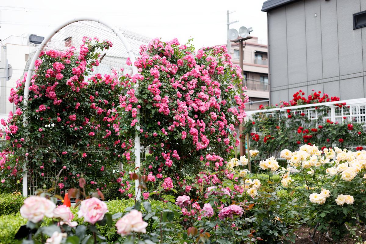 本山街園 バラ園 薔薇の開花状況 2020年5月18日
