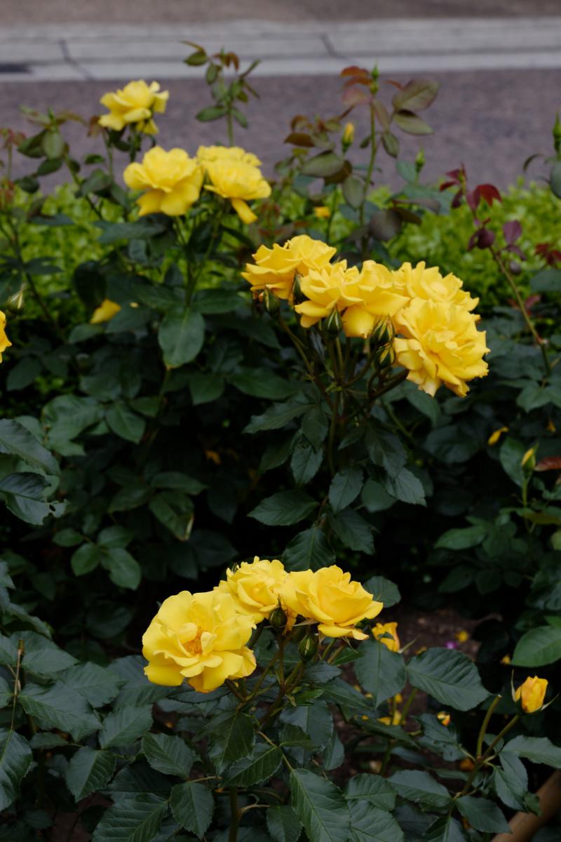 本山街園 バラ園 薔薇の開花状況 2020年5月