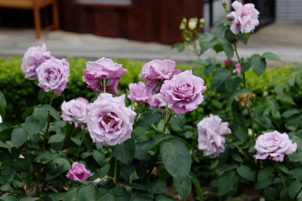 本山街園 バラ園 紫の薔薇 2020年5月