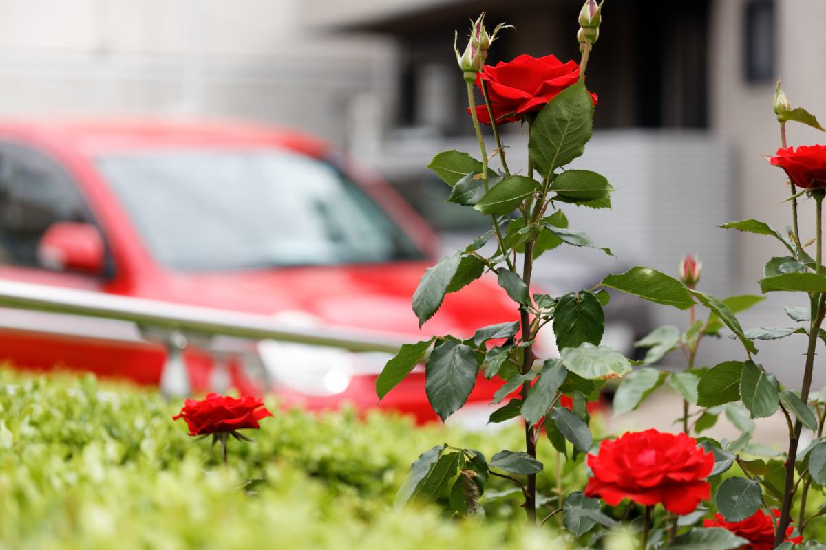 本山街園 バラ園 赤い薔薇 2020年5月