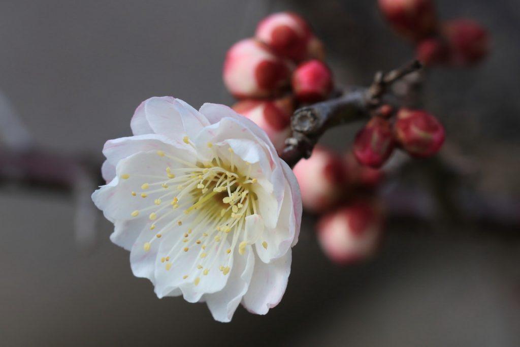 マクロレンズで撮影した梅の花の写真