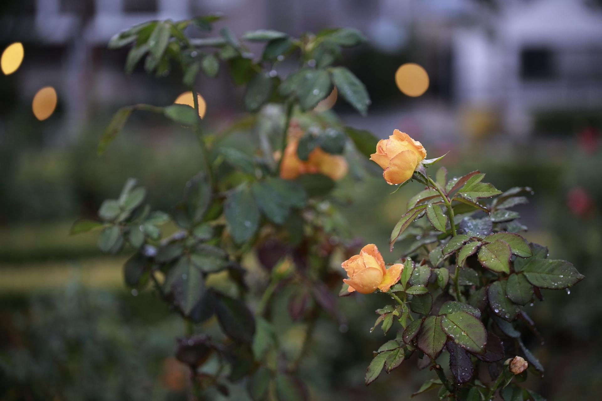本山街園(バラ園)の開花状況 2021年10月17日