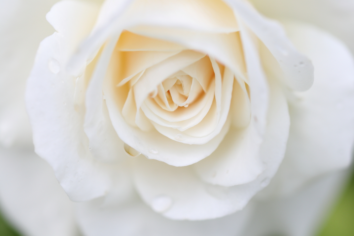 ROSE GARDEN IN SETTSU-MOTOYAMA 2018 May 14th