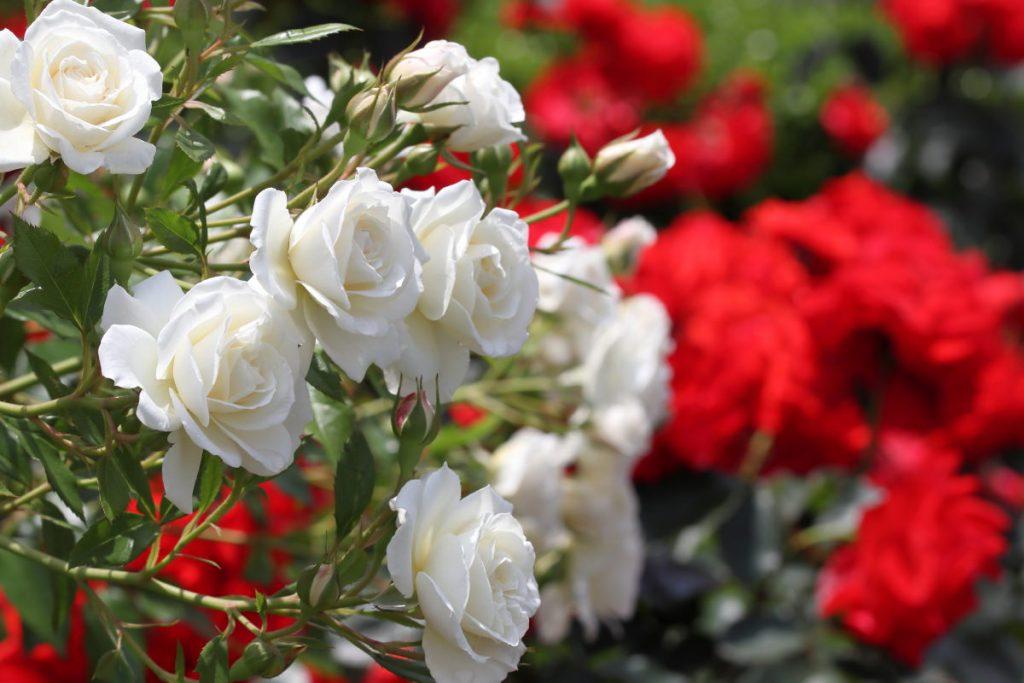 神戸のバラの名所まとめ【薔薇が見られる神戸市内の人気スポット】