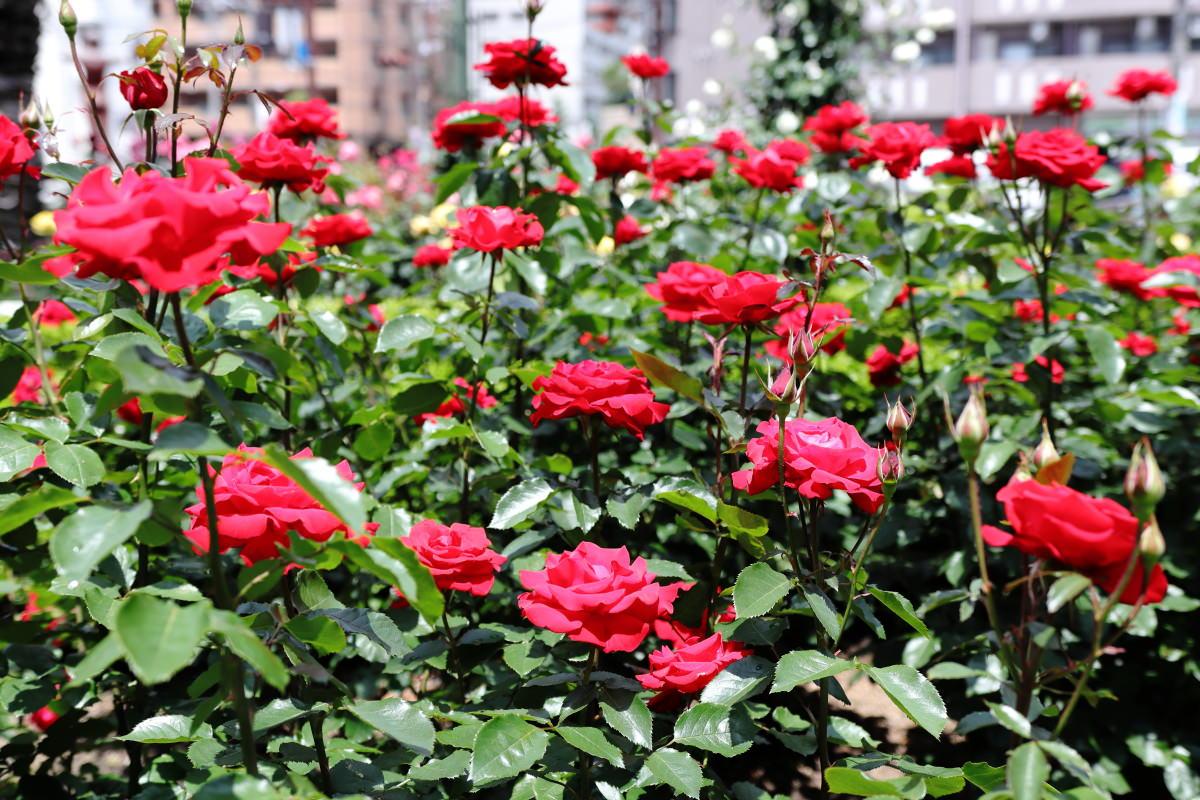本山街園 バラ園 薔薇の開花状況 2018年5月14日