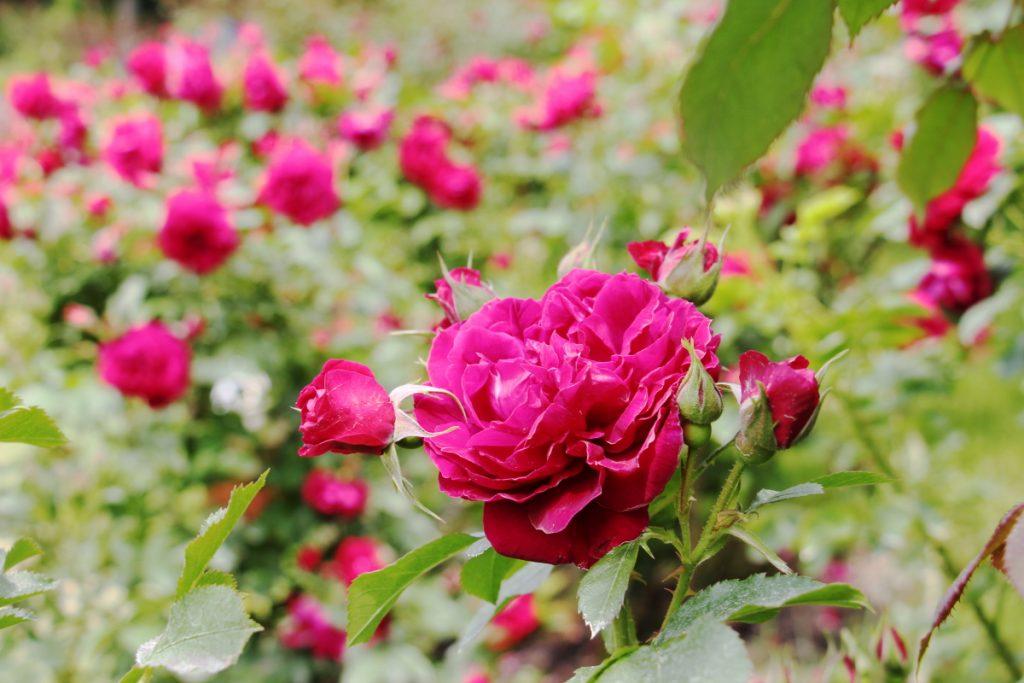 六甲カンツリーハウス バラの小径