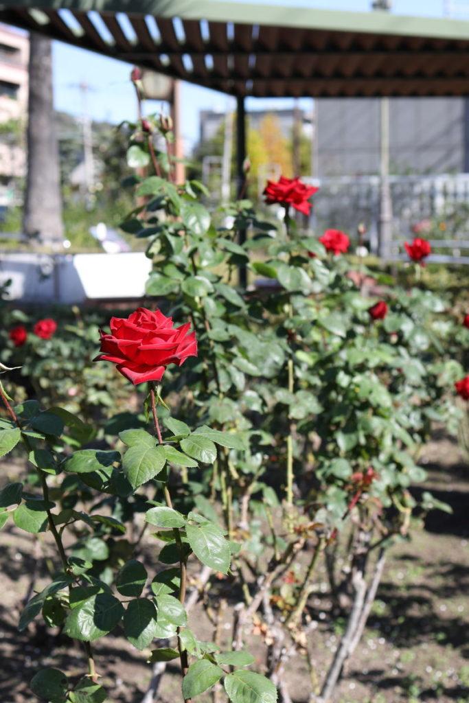 本山街園 バラ園 薔薇の開花状況 2019年11月13日