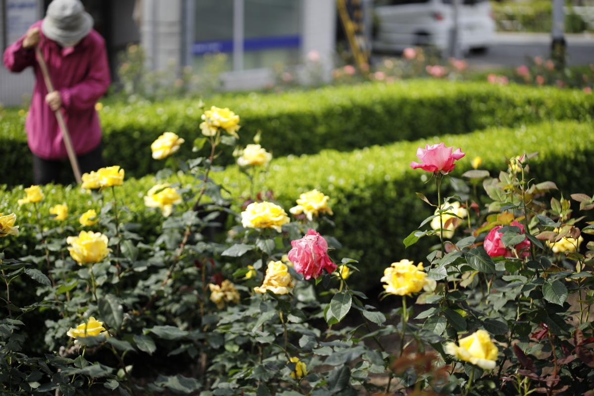 本山街園(バラ園)の開花状況・写真 2021年5月8日