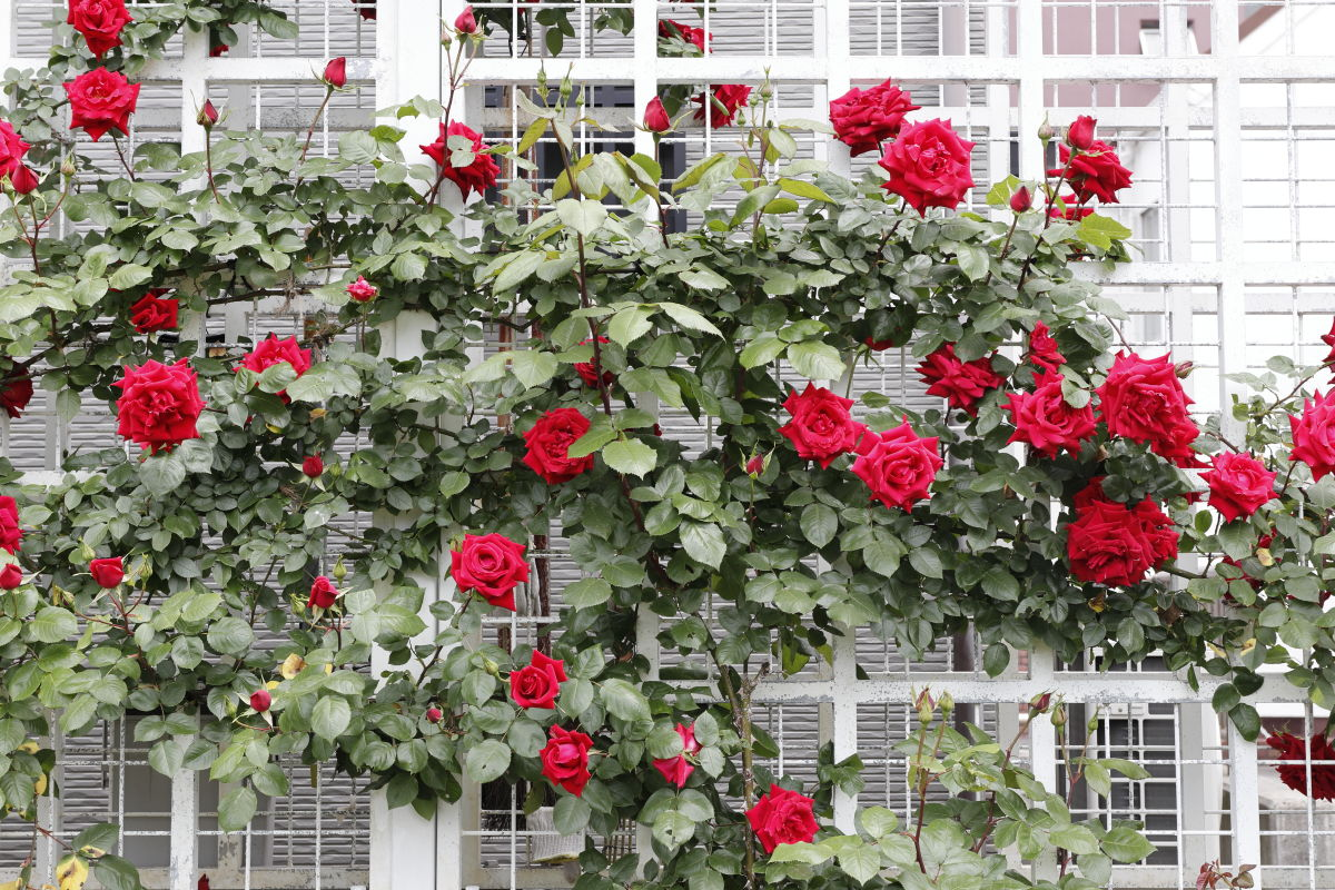 本山街園 バラ園 薔薇の開花状況 2020年5月6日