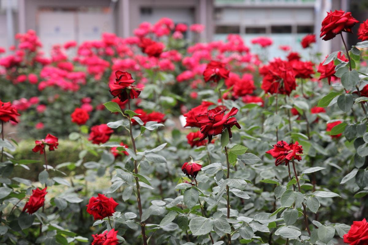本山街園 バラ園 薔薇の開花状況 2019年5月20日