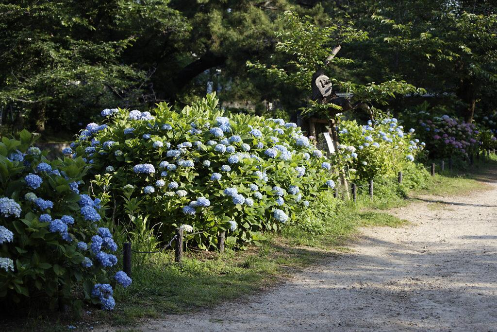 夙川・苦楽園口 2021年5月31日の紫陽花
