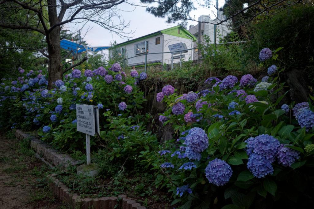 夙川・苦楽園口の紫陽花開花状況 2020年6月19日