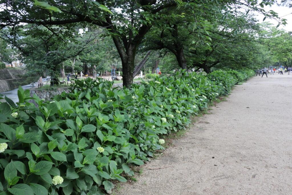 夙川 苦楽園口 2021年5月22日の紫陽花