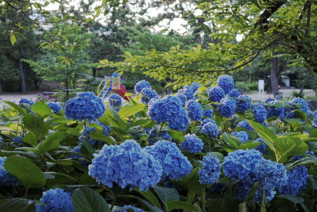 夙川・苦楽園口の紫陽花開花状況 2020年6月15日