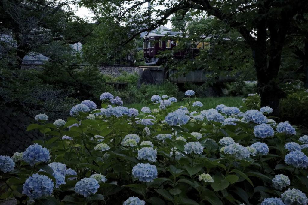 紫陽花と阪急電車