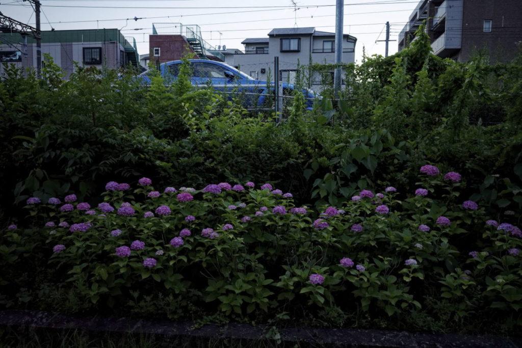 紫陽花と青い車