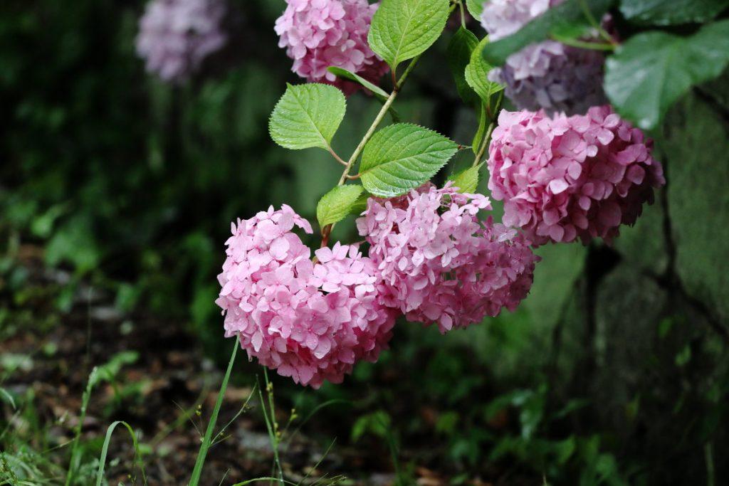 神戸六甲山のなかの紫陽花