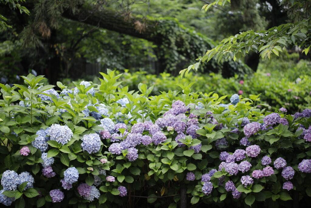 夙川・苦楽園口 2021年6月16日の紫陽花
