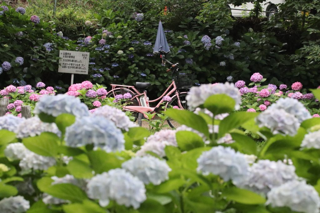 阪急夙川・苦楽園の紫陽花