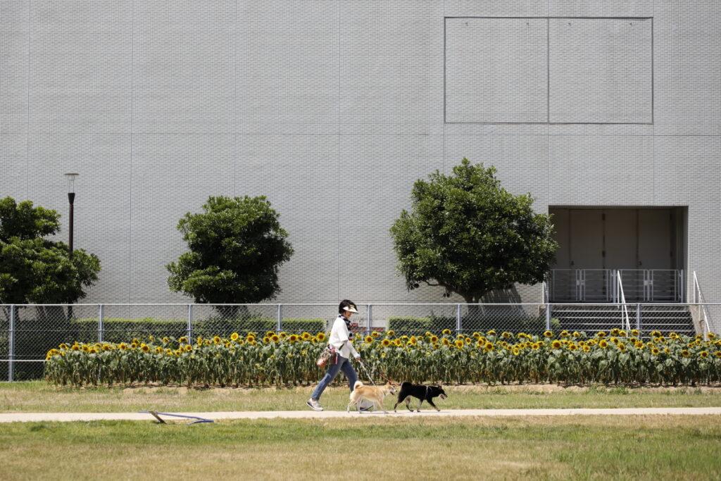 ひまわり広場を犬と散歩する女性