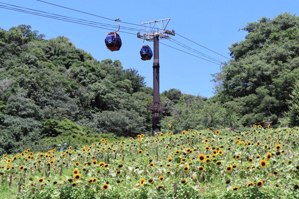 ヒマワリの花畑を広角で撮る