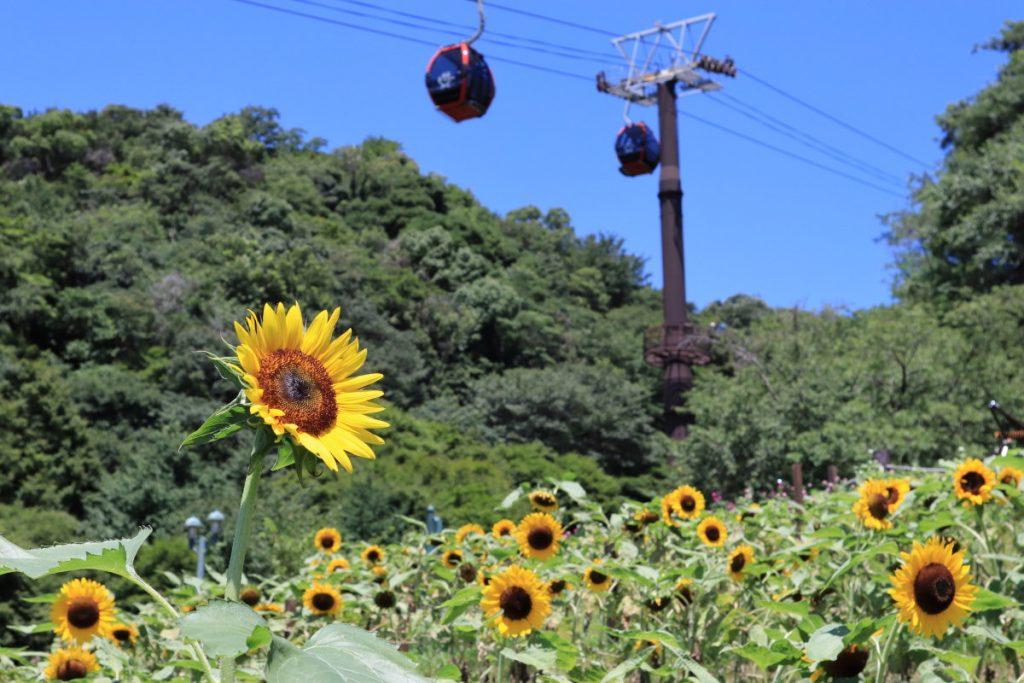 ヒマワリの花畑を広角で撮る 作例写真