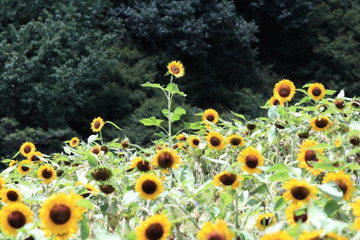 神戸布引ハーブ園 ひまわり畑