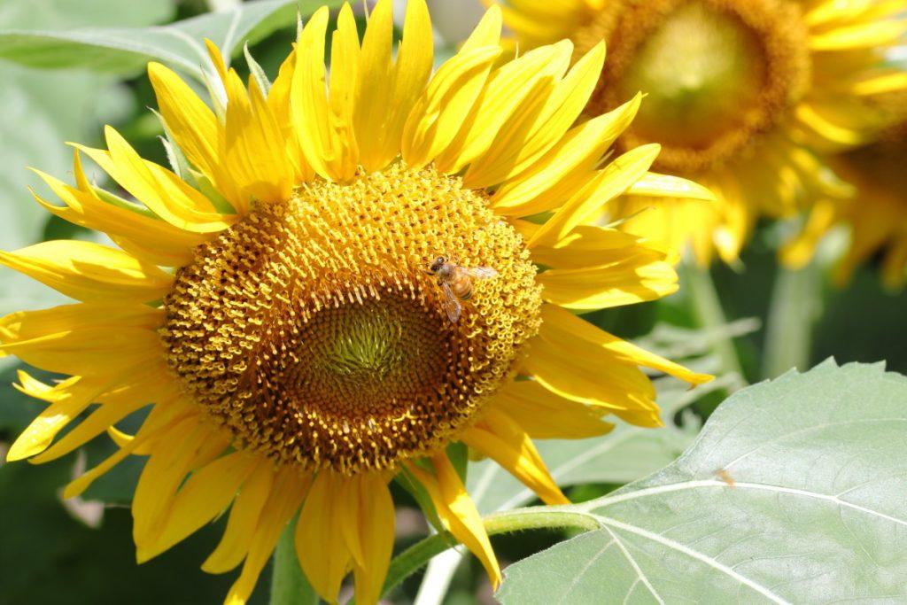 マクロレンズで撮るヒマワリと蜂の写真